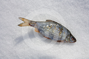 Fish In The Snow Royalty Free Stock Photo - Image: 24538935