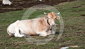 Cow In The Mountains Stock Photo - Image: 24548900