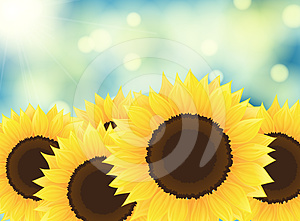 Sunflowers Stock Photography - Image: 24552062
