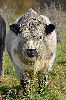 Black And White Bull Stock Image - Image: 24573351