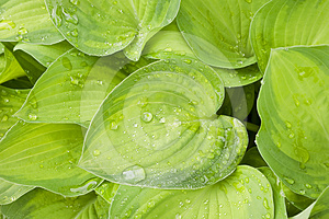 Raindrops On Hosta. Royalty Free Stock Images - Image: 24575009