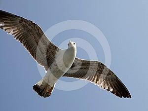 Seagull Royalty Free Stock Image - Image: 24577136