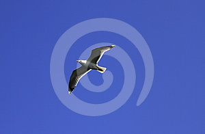 Seagull Royalty Free Stock Images - Image: 24577159