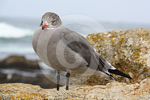 Western Gull Royalty Free Stock Photography - Image: 24580087