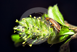 Beetle On A Plant Macro Royalty Free Stock Photography - Image: 24586027
