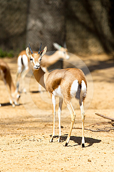 Antelope Stock Photography - Image: 24590492