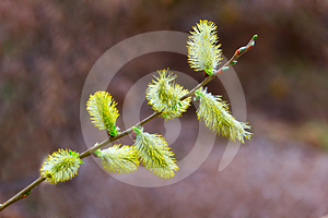 Pussy-willow Stock Photography - Image: 24597142