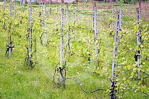 Green Vineyard Stock Photo - Image: 24606710
