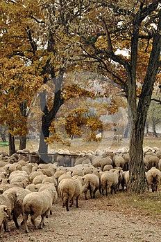 Herd Of Sheep Gathering Royalty Free Stock Photos - Image: 24608738