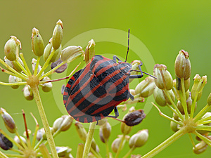 Minstrel Bug Stock Photography - Image: 24609142