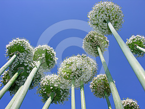 Blooming Onion Royalty Free Stock Photo - Image: 24618775