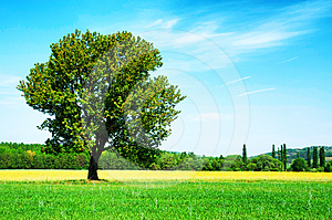 Lonely Tree On Wheat Field Stock Image - Image: 24621071
