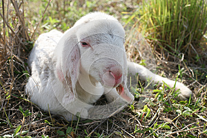 Lamb Royalty Free Stock Photography - Image: 24635757