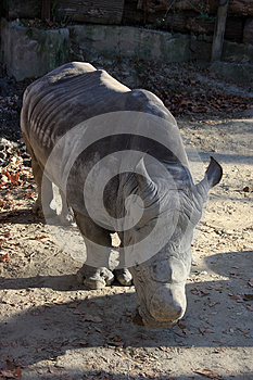 Big Rhino Standing Out In The Sun Royalty Free Stock Image - Image: 24640616