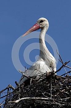 White Stork Royalty Free Stock Photo - Image: 24645595