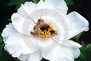 Bees On Flower Royalty Free Stock Image - Image: 24649256