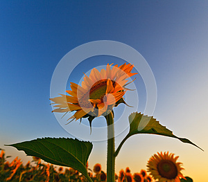 Sunflower Field In Warm Evening Light Stock Photography - Image: 24649942