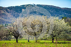 Flowering Trees Stock Images - Image: 24653474