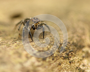 Jumping Spider On Log Royalty Free Stock Photo - Image: 24669555