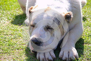 Argentinian Dog Stock Image - Image: 24670721