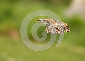 Burrowing Owl Royalty Free Stock Photos - Image: 24680208