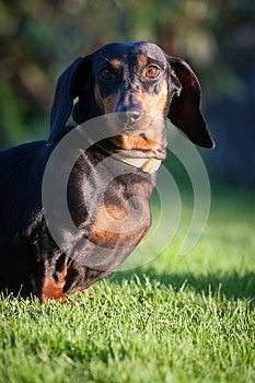 Dachshund Royalty Free Stock Photos - Image: 24688328