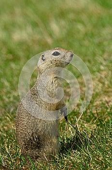 Prairie Dog Stock Photography - Image: 24690112