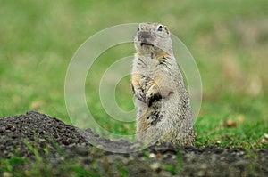 Prairie Dog Stock Photo - Image: 24690120