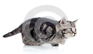Black Scottish Kitten Slinks Royalty Free Stock Photography - Image: 24701347
