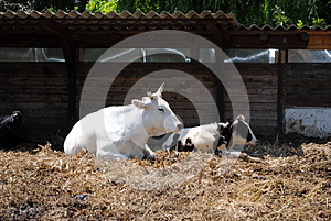 White And Black Cows Royalty Free Stock Photo - Image: 24705575