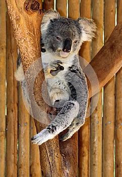 Koala Stock Photo - Image: 24721170