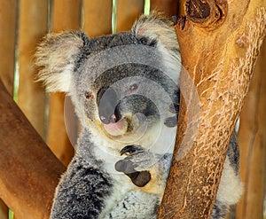 Koala Stock Images - Image: 24721174
