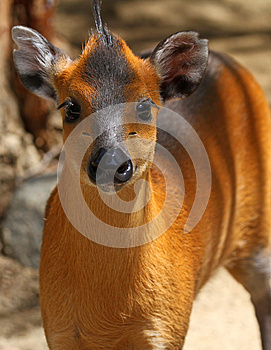 Cerfs Communs Tuftés Photos stock - Image: 24721213
