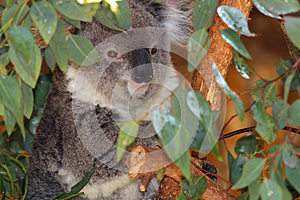Koala Stock Image - Image: 24722561