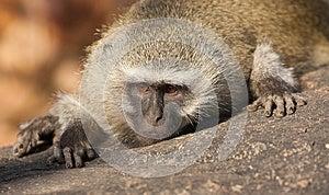Monkey Portrait Stock Image - Image: 24730881