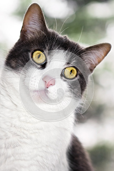 Peeking Grey And White Cat Stock Photo - Image: 24748260