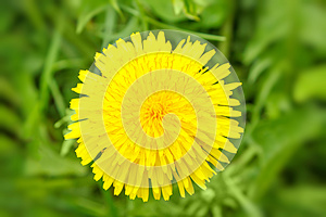 Yellow Dandelion On A Green Background Stock Photography - Image: 24765202