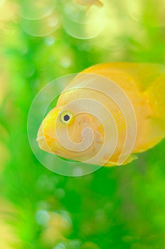 Gold Parrot Fish In Aquarium Stock Images - Image: 24766334