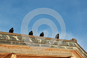 Large Blackbirds Stock Photos - Image: 24769453