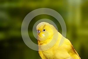 Cute Yellow Lovebird Closeup With Dark Black Eyes Royalty Free Stock Photos - Image: 24781788