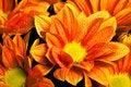 Calendula officinalis orange Royalty Free Stock Image