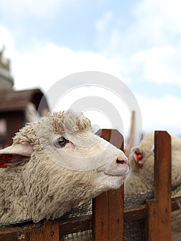 Smile Sheep Royalty Free Stock Images - Image: 24792459