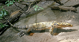Water Monitor 2 Stock Images - Image: 2487154