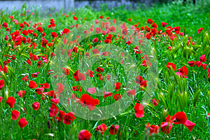 Poppies Royalty Free Stock Photography - Image: 24825007