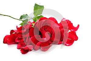 Red Rose & Petals Stock Photo - Image: 24825600