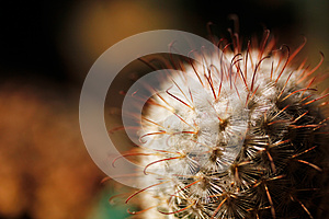 Escobaria Nipple Cactus With Long And Short Spines Stock Photo - Image: 24831100