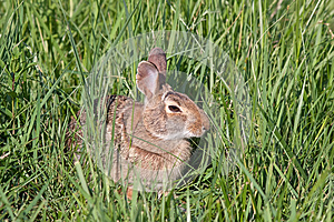 Wild North American Rabbit Stock Images - Image: 24831634