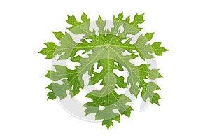 Papaya Leaf Isolated Royalty Free Stock Photo - Image: 24833045