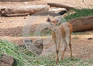Thai Antelope, Thailand Royalty Free Stock Photos - Image: 24838828