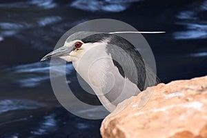 Black-crowned Night Heron Stock Photography - Image: 24843452